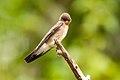 Andorinha-serradora (Stelgidopteryx ruficollis) - Southern Rough-winged Swallow.jpg