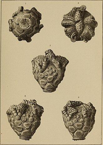 Chazy Formation - Chazy fossils (rhaphanocrinus gemmeus), New York State Museum, 1902