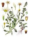 Anthemis arvensis - Köhler–s Medizinal-Pflanzen-159.jpg
