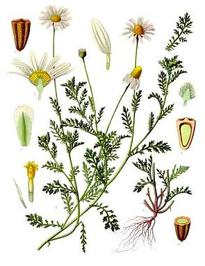 Acker-Hundskamille (Anthemis arvensis)