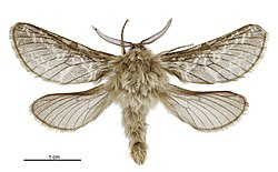 Aoraia macropis male.jpg