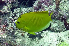 Threespot angelfish (Apolemichthys trimaculatus)