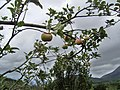 Apple Farm, Kandhaloor, Munnar - panoramio (2).jpg