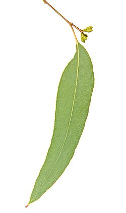 meaning of eucalyptus
