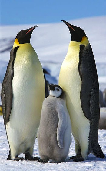 Two adult Emperor Penguins with a juvenile on ...