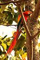 Ara macao -Costa Rica-8.jpg