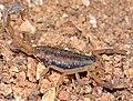 Arachnida, Scorpiones, Centruroides vittatus (Striped bark scorpion), female (3679664657).jpg