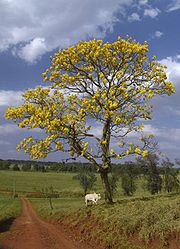 The araguaney (Tabebuia chrysantha), Venezuela's national tree.