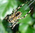 Araneus diadematus. U-S - Flickr - gailhampshire.jpg