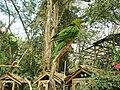 Aratinga rubritorquis -Macaw Mountain Bird Park, Honduras-6a.jpg