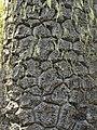 Araucaria araucana bark ( Scott Zona) 001.jpg
