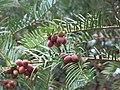 Arboretum de Bagnoles - Cephalotaxus fortunei (fruits et feuillage).jpg