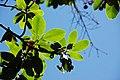 Arbutus menziesii (Pacific madrone tree) (near Calistoga, California, USA) 1 (49095163082).jpg