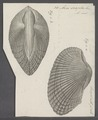 Arca scapha - - Print - Iconographia Zoologica - Special Collections University of Amsterdam - UBAINV0274 076 04 0015.tif