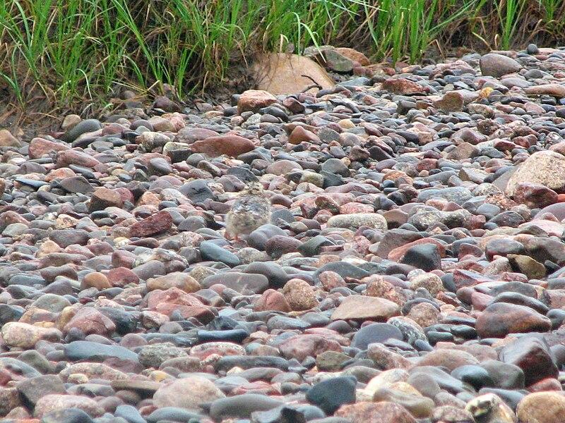 File:Arctic tern chick.jpg