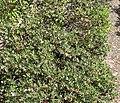 Arctostaphylos hookeri ssp franciscana 1.jpg
