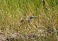 Ardeola ralloides Squacco Heron (32950674032).jpg