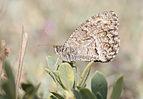 Arethusana arethusa - False grayling 01.jpg