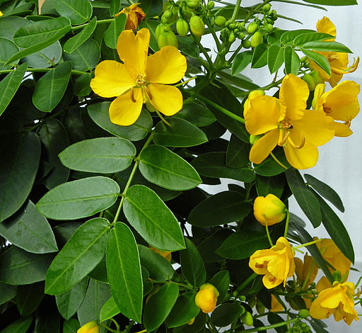Gewürzrinde – Balkon- & Kübelpflanzen