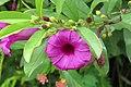Argyreia cuneata - Purple Morning Glory - at Beechanahalli 2014 (2).jpg