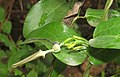 Aristolochia indica 06.jpg