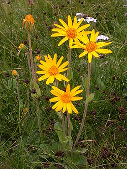 Arnica montana subsp montana, tige florifère