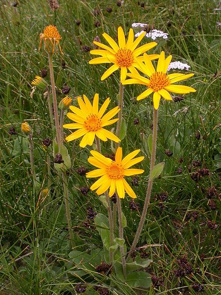 fleurs sauvage de l'arnica montana