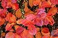 Aronia leaves on a rainy autumn day in Tuntorp 9.jpg