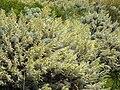 Artemisia arborescens 3 (Corse).JPG