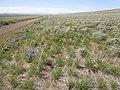 Artemisia tripartita (5802858774).jpg