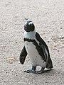 Artis Afrikaanse Pinguin (36544332465).jpg