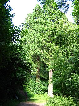 Ashton Hill Plantation - geograph.org.uk - 881561