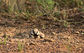 Ashy crowned sparrow lark dust bathing.jpg
