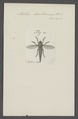 Asilus - Print - Iconographia Zoologica - Special Collections University of Amsterdam - UBAINV0274 038 07 0015.tif