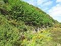Aspen Trees - geograph.org.uk - 1351639.jpg