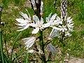 Asphodèle blanc (8).JPG