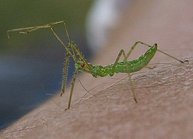 Assassin bug nymph.jpg