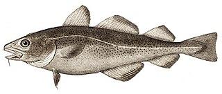 <i>Gadus</i> genus of fishes