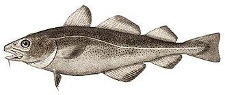 Atlantic cod - Image: Atlantic cod