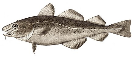 The lateral line is clearly visible as a line of receptors running along the side of this Atlantic cod Atlantic cod.jpg