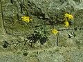 Aurinia saxatilis 2019-04-16 0982.jpg