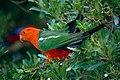 Australian King Parrot (Alisterus scapularis) male (10019322566).jpg