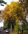 Autumn trees on Sutton Green, SUTTON, Surrey, Greater London (2).jpg