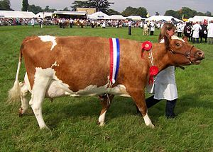 Ayrshire cattle - A mature Ayrshire cow.