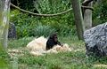 Bébé chimpanzé (5958092625).jpg