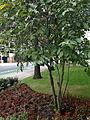 B2- Bumelia lycioides (Buckthorn Bumelia) (distant view).jpg