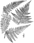 BB-0046 Dryopteris spinulosa.png