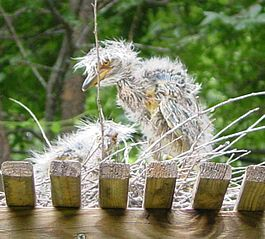 Baby Yellow Crowned Night Heron.jpg