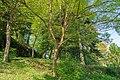 Badenweiler - Kurpark - Japanische Zelkove (85).jpg