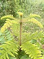 Bagio leaves.jpg